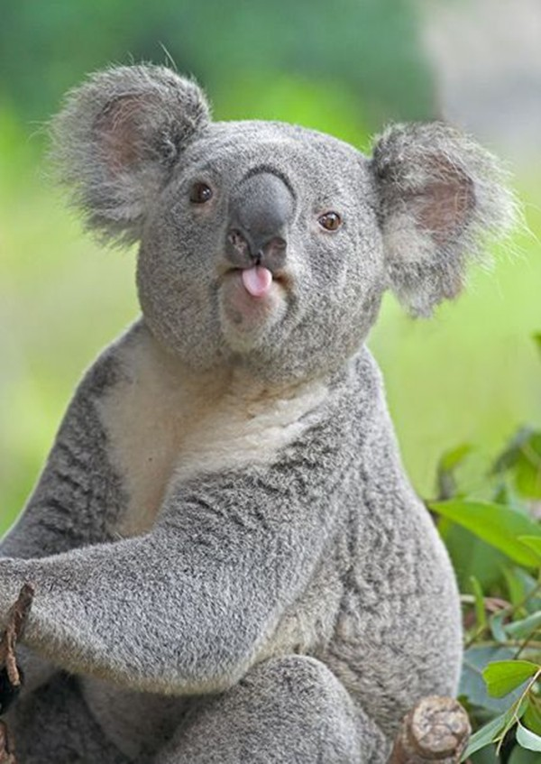 funny animal pictures, koala