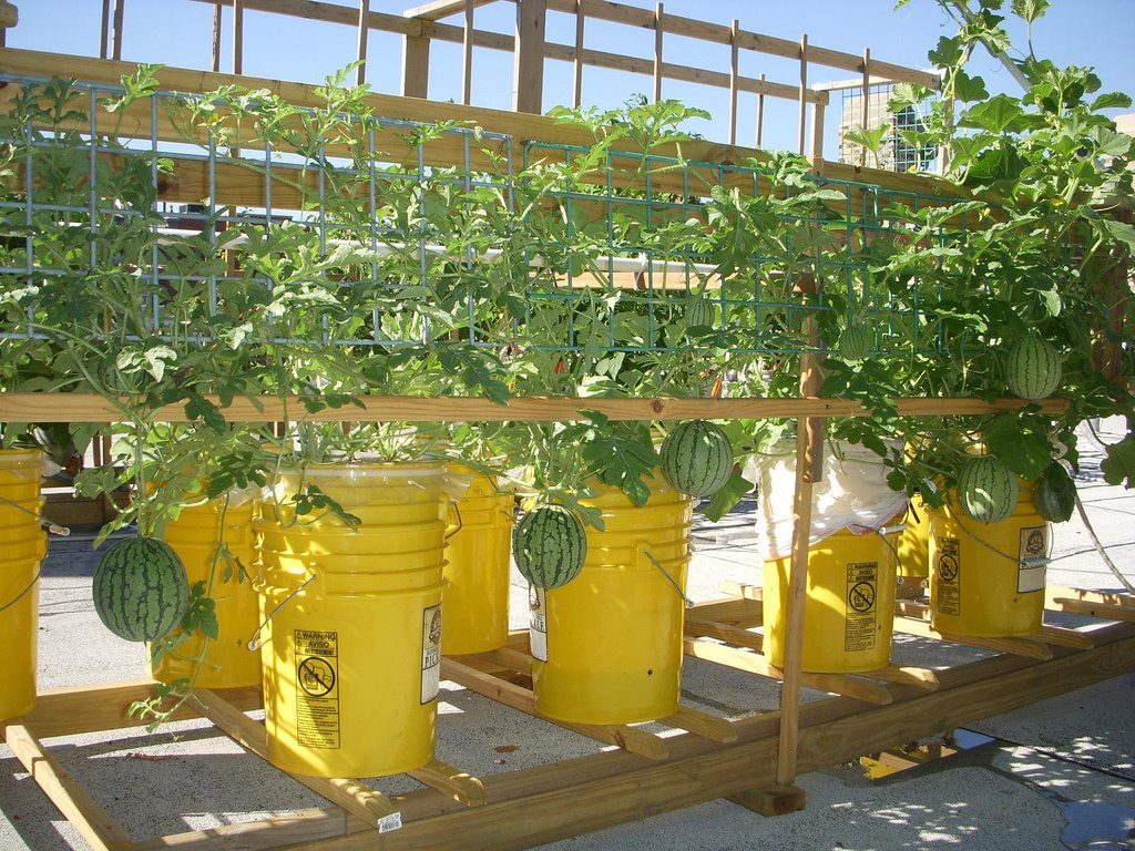 Green roof growers growing melons in sub irrigated for Gardening 5 gallon bucket