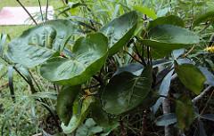 manfaat daun mangkokan untuk kesehatan