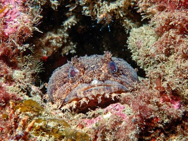criaturas marinas pez sapo