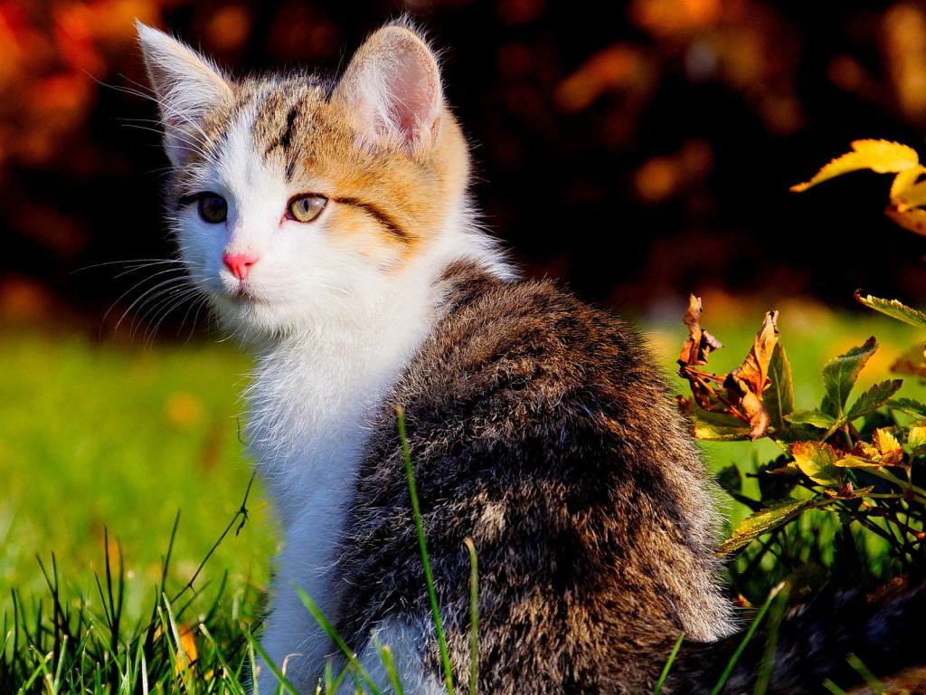 Cat kittens wallpaper 1 love and quotes cat kittens wallpaper 1 animalscatsbeautifulkitten033169 animalscatscutekittens011529 altavistaventures Choice Image