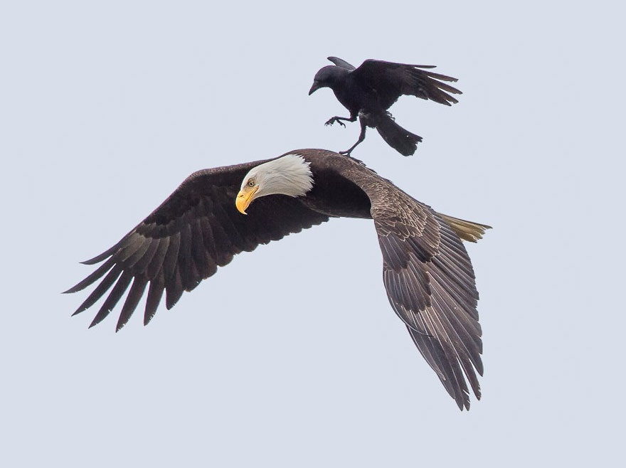 Una ganga coreana - Página 5 Aguila-cuervo1