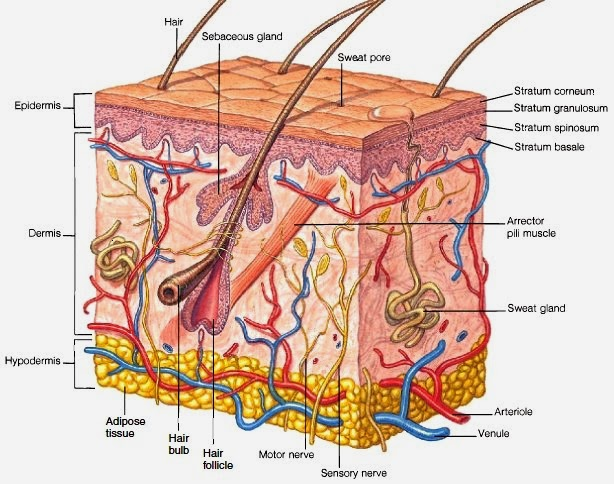 Skin Physiology