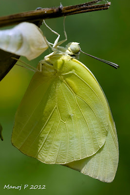 Common Emigrant Butterfly