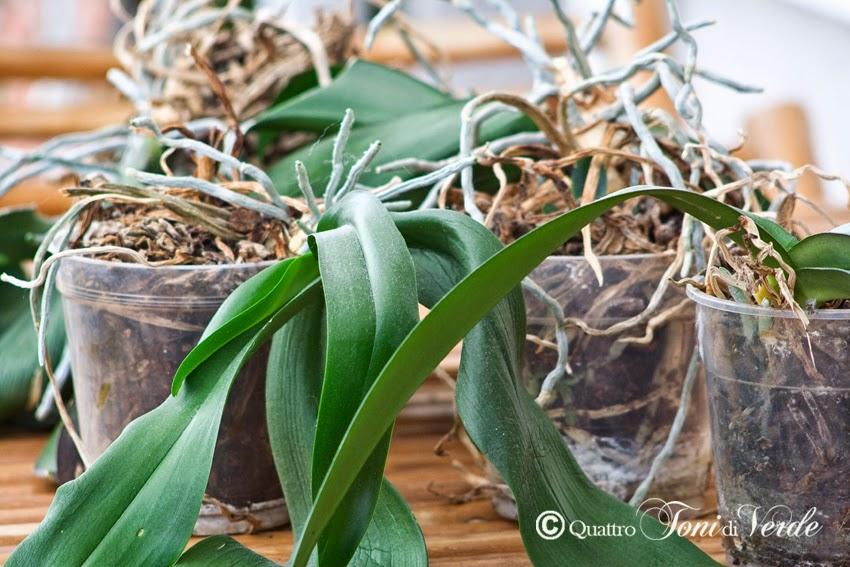 Le Orchidee Da Rinvasare