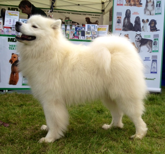 Samoyed Mixed Breeds For nordic breed such as