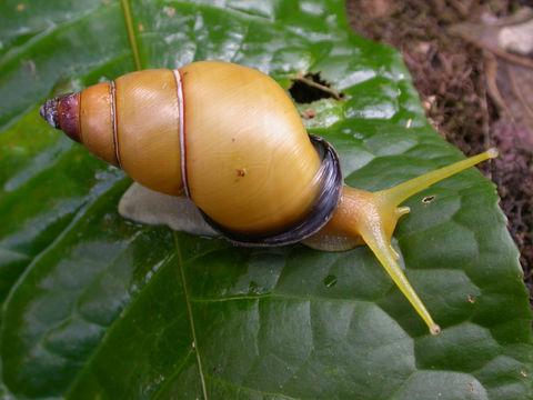 Gastropoda Yaitu
