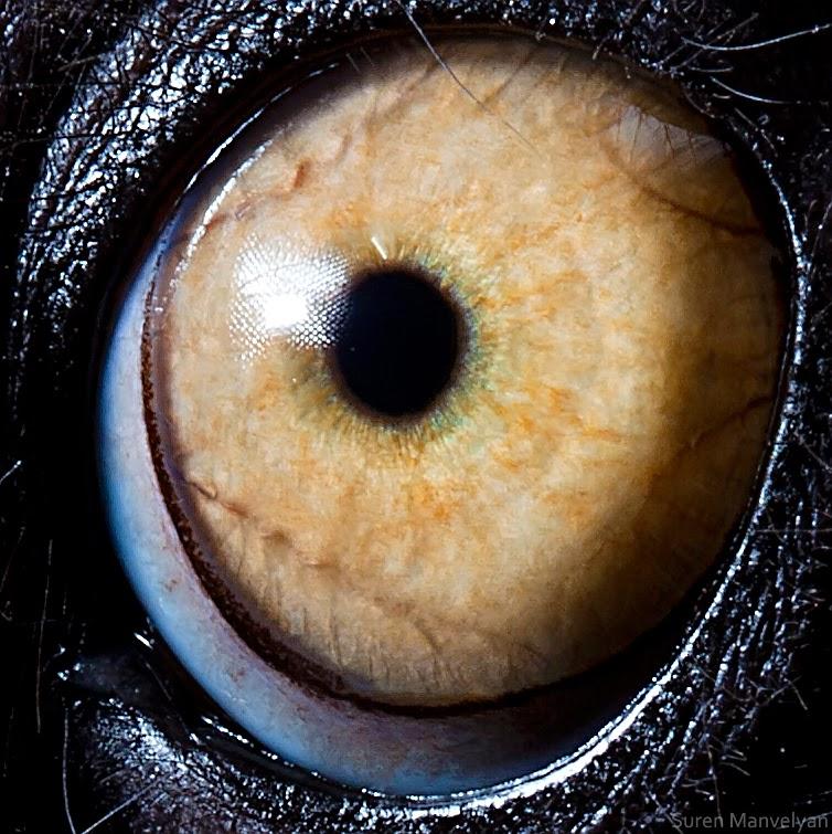 ojo de lemur