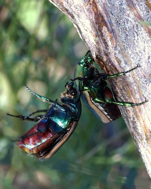 arizona  beetles  bugs  birds and more  fighting fig