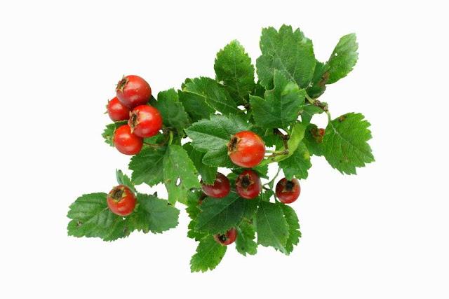 Плоды боярышника: сезонное лакомство и лекарство.