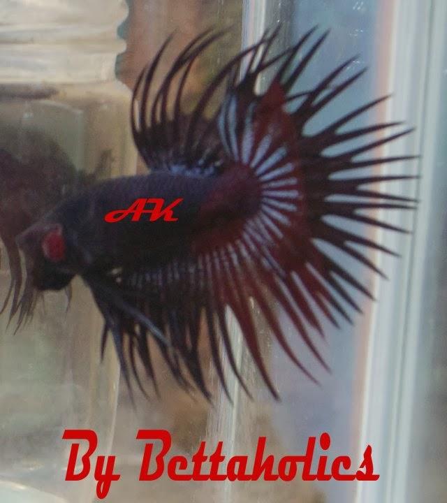 Dunia Ikan Cupang Hias: Ikan Cupang serit/Crowntail, Kebanggaan ...