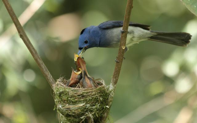 Pajarito Azul Alimentando sus Pichones - Fotos de Aves Exoticas