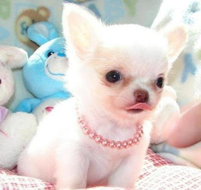 Cute Chihuahuas Puppies Pictures
