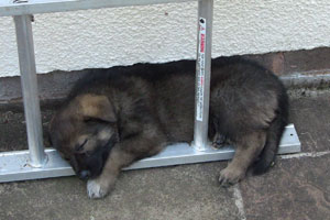 German shepherd puppy asleep curled round the first rung of a ladder.
