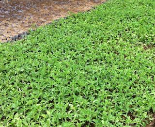 Stevia Plant Seeds