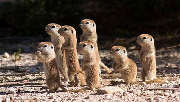 Marmotas Bebés