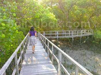 Mangrove Forest Conservation Bali Indonesia
