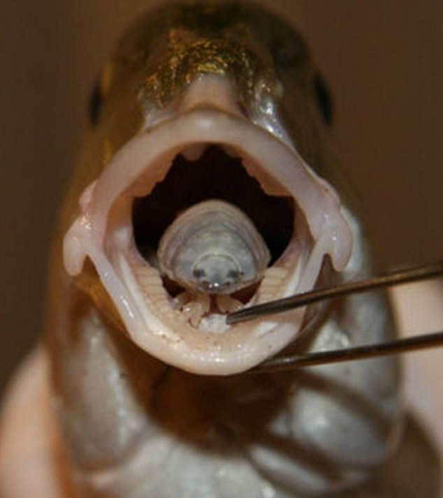паразит от рыбы