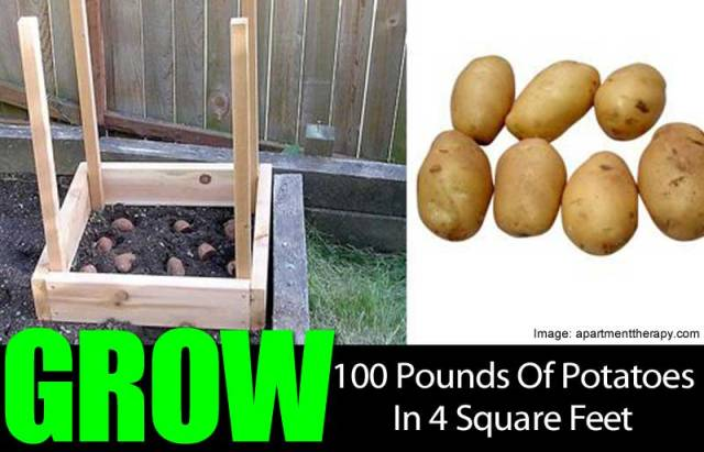 100 Pounds of Potatoes in 4 Square