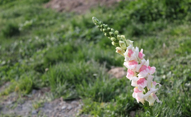 Snapdragon Flowers Pictures