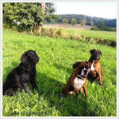 Boxer Amy ( Mitte) mit zwei Freunden