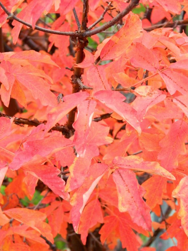 Paperbark maple Acer griseum fall foliage Toronto Botanical Garden by garden muses-not another Toronto gardening blog