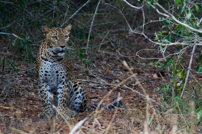 A photograph of a Leopard taken in Wilpattu, Sri Lanka