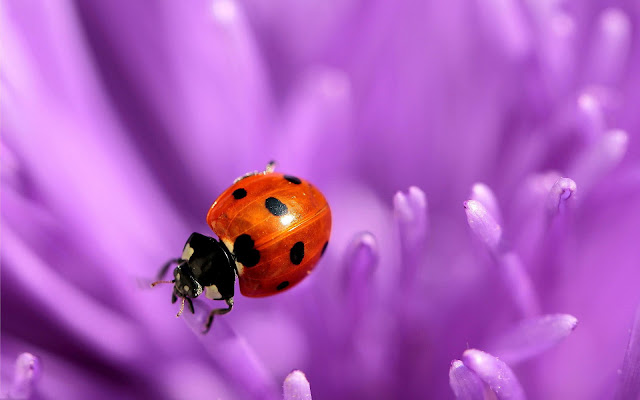 Beautiful close up photo of a ladybug on a purple flower