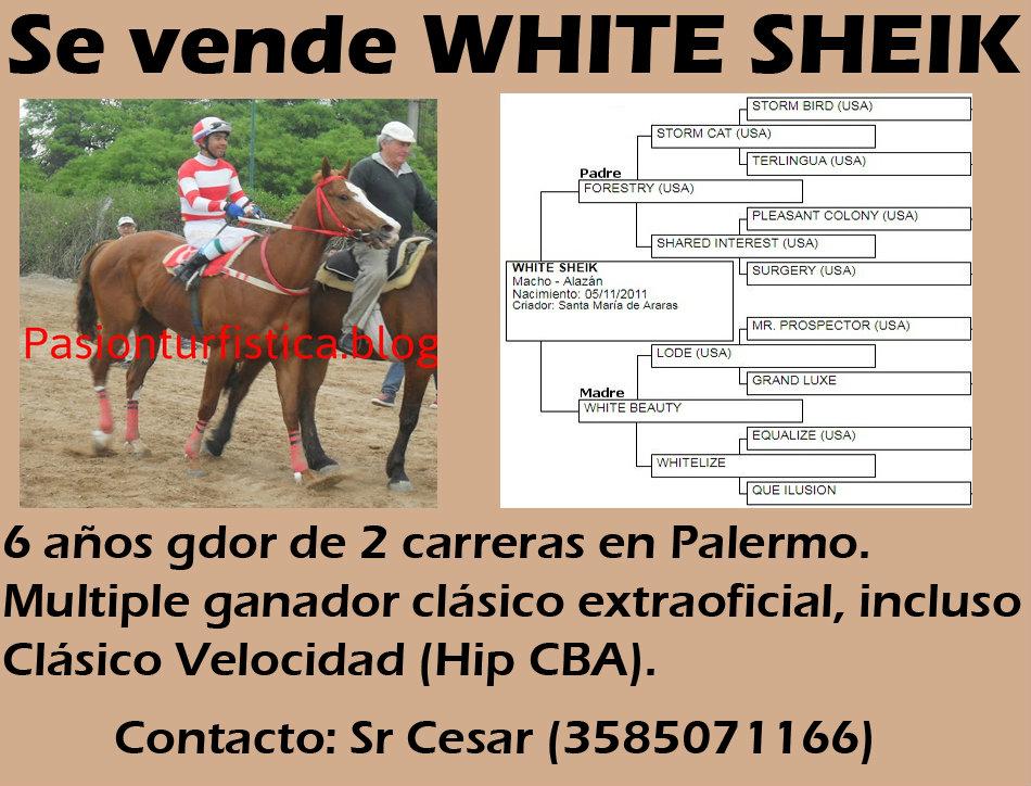 VENTA WHITE SHEIK