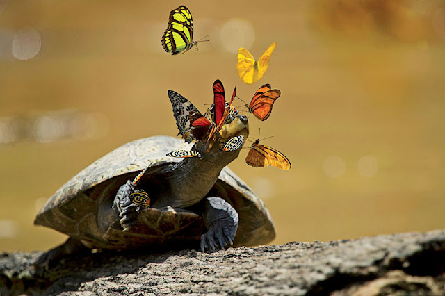 Turtle tears help butterflies reproduce