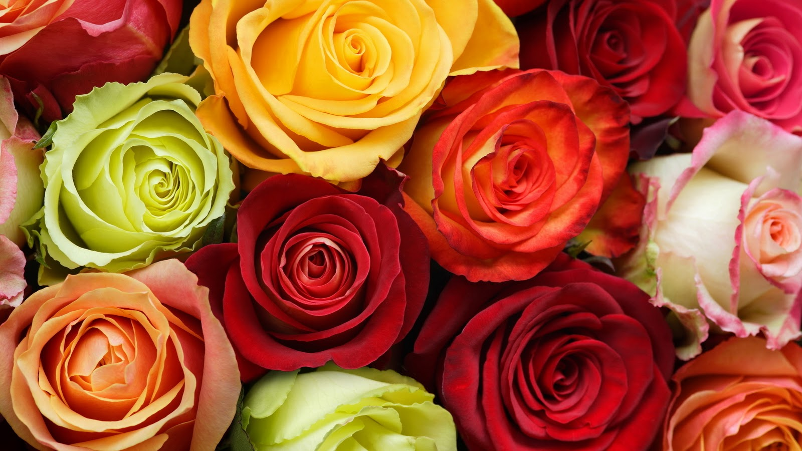 Wallpapers photo art wallpaper flowers roses for Dual color roses