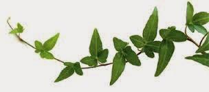 Réduire la peau d'orange Grâce aux feuilles de lierre