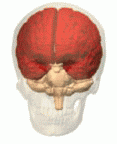 Picture showing the human cerebrum