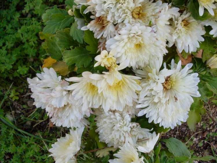 Piante e fiori piante perenni che fioriscono in autunno e for Piante che fioriscono in inverno