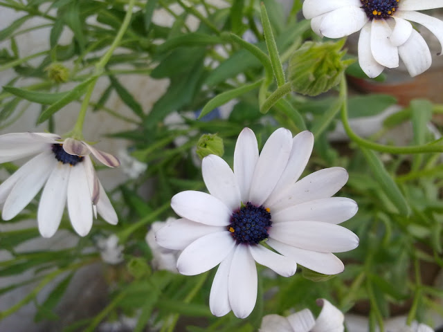 Metro Greens: African White Daisy