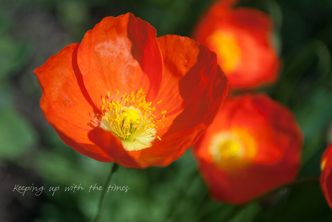 Perennial Poppies Keeping With The Times