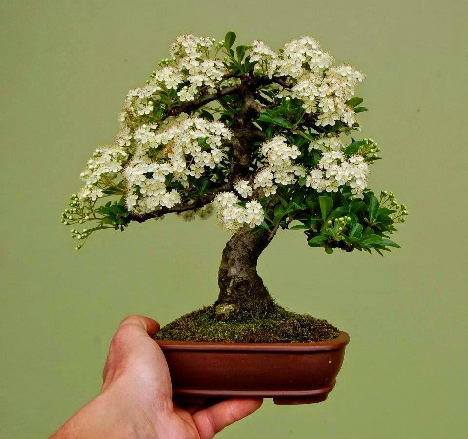 Giragiraffa bonsais - Plantas para bonsai ...