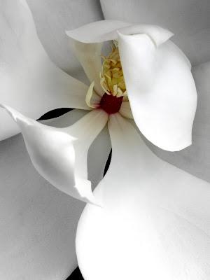 Magnolia an Opening by Beth Ann Strub
