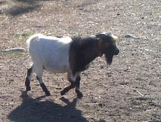 pejantan kambing