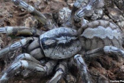 Hii Tarantula Raksasa di Srilanka, Hingga Sebesar Kepala