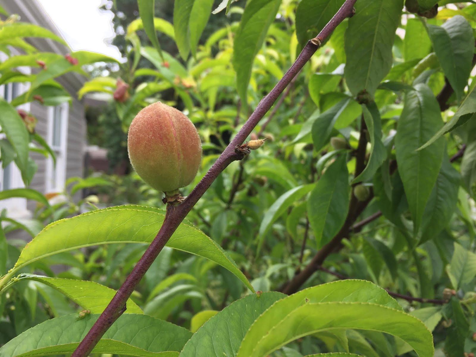 citrus enthusiast the citrus hedge