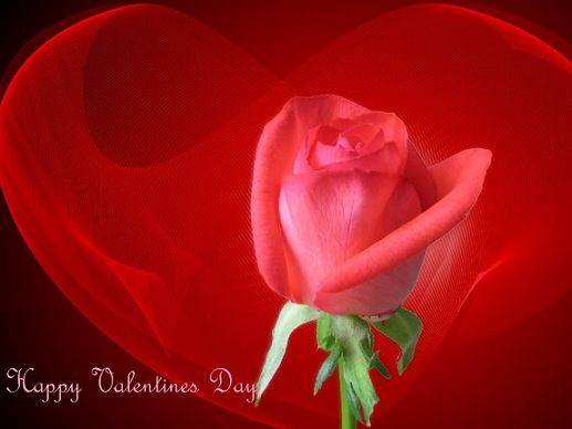 Valentines day red roses wallpapers