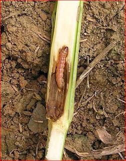 Penggerek Batang (Ostrinia fumacalis)