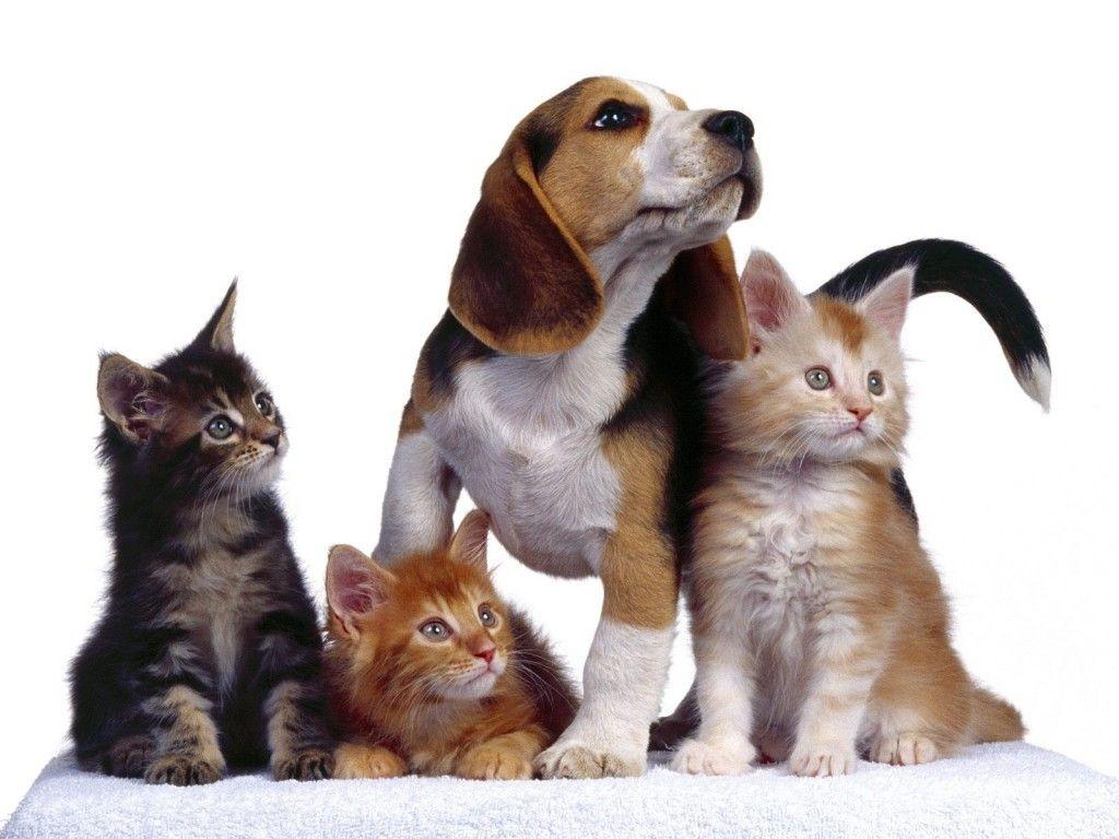 Perros y Gatos, Wallpapers HD. I , Gatos