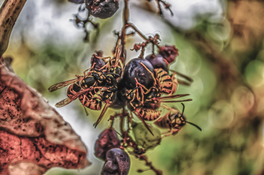 Some hungry wasps have invaded a bunch of grapes