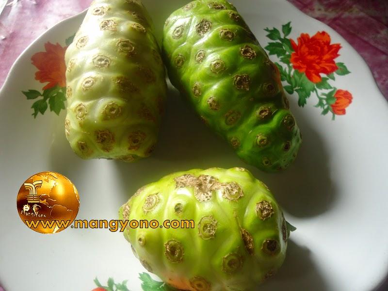 Mengobati darah tinggi dengan buah mengkudu ( Pace )