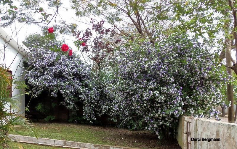 arvore manaca jardim : arvore manaca jardim:Plante Uma Vida, Plante Uma Árvore: Manacá-de-cheiro: um arbusto que