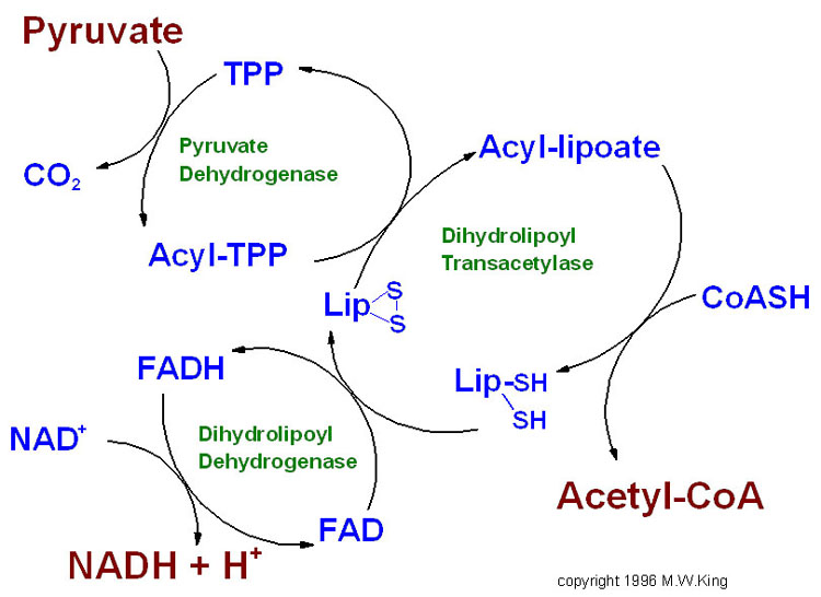 Nicotinamide adenine dinucleotide - Wikipedia