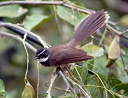 burung: burung sikatan