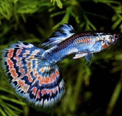 Guppy poecilia reticulata and predators planetanimalzone for Small tropical fish